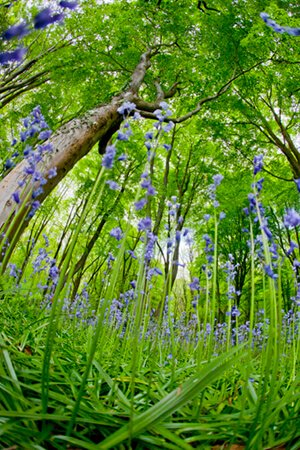 bluebell trees