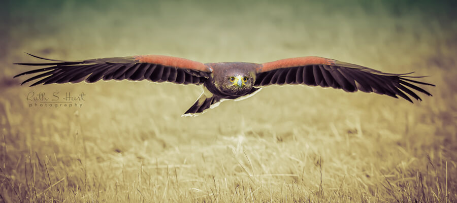 Birds Of Prey Photography Courses Action Going Digital